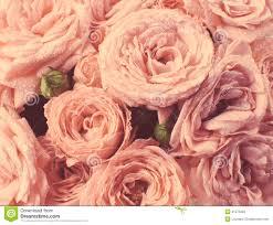 imagenes de rosas vintage rosas en estilo del vintage colores descolorados foto de archivo