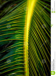 close up of palm tree leaves royalty free stock photos image 959668