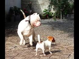 jack russell american pitbull terrier mix xl bully vs jack russel youtube