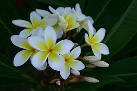 plumeria flowers file plumeria flowers jpg wikimedia commons