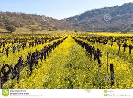Yellow Mustard Color Yellow Mustard Plants In Spring Vineyard Royalty Free Stock