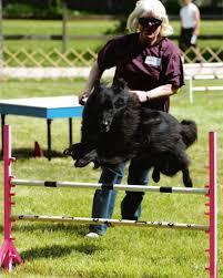 belgian sheepdog rescue texas 2010 pottsboro tx belgian sheepdog club of america