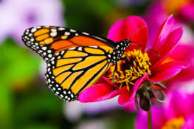 butterfly on flower images hd best image background