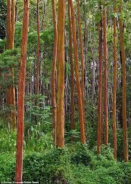Rainbow Eucalyptus Rainbow Eucalyptus Resemble Colourful Works Of Art After Shedding