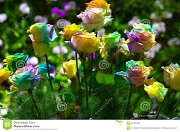 Multi Colored Roses Bouquet Of Multi Colored Roses Rainbow Rose Stock Photo Image