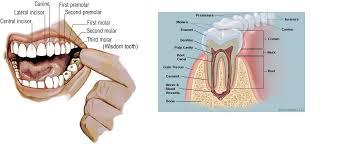 Human Anatomy Terminology Skeletal Series B The Biological Basis Of Teeth And Anatomical