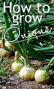 best 25 grow green onions ideas on pinterest regrow green