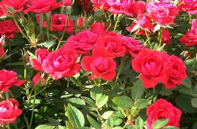 Flower Gardens Wallpapers - rose garden wallpaper desktop decorating clear