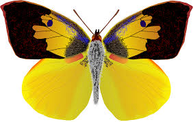 male butterfly clipart clipground
