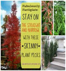fabulously fastigiate narrow plants for spaces