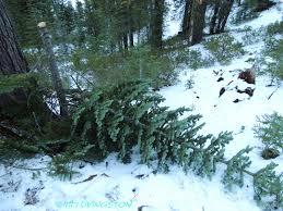 fir the forester artist