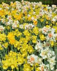 daffodil naturalizing mix dutchgrown