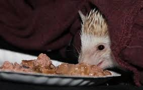 best food for hedgehogs treats on the side too