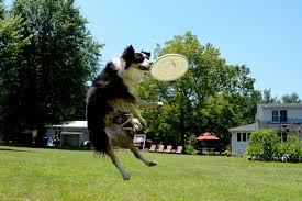 australian shepherd frisbee air time the canine flying frisbee fest u2013 loudoun now
