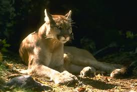 California wildlife images Mountain lions in california jpg
