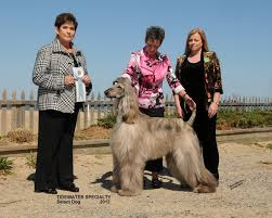 afghan hound rescue north carolina jolie afghan hounds tiger