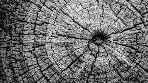 free stock photo of black and white felled tree trunk tree rings