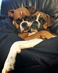 boxer best 25 boxers ideas on pinterest boxer puppies boxer dogs and