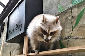 The Blind Alley Blind Alley Raccoon Cafe Seoul South Korea Www Cate