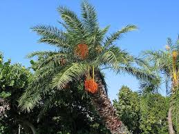 Palm Trees Fruit - palm gallery pictures images photos on palm trees