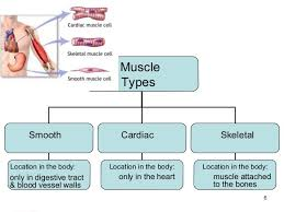 Human Body Muscles Images Human Body Systems Ppt