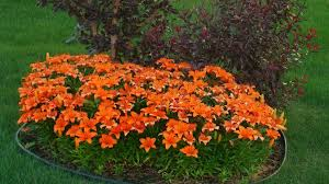 asian lilies orange asian lilies flower bed flowerpictures us