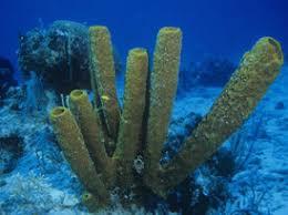 Strawberry Vase Sponge Porifera Circulatory System