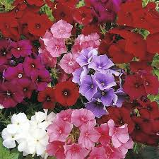 phlox flower phlox drummondii beauty mixed seeds thompson