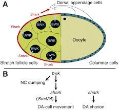 bullwinkle and shark regulate dorsal appendage morphogenesis in