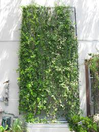 how to prune a wall mounted green facade green wall greenscreen