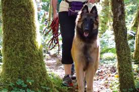 belgian shepherd oregon reactive city dog country dog training