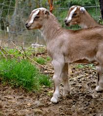 detailed description of goat birth and newborn kid care