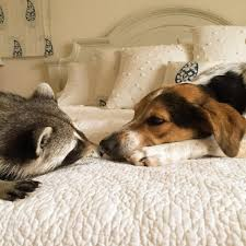 21 adorable photos of a rescued raccoon and her adopted family