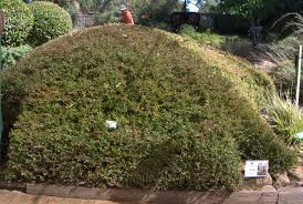best australian native hedge plants the beautiful gardens of zanthorrea nursery mallee design
