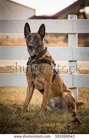belgian shepherd timberwolf belgian malinois dog running grass stock photo 524035861