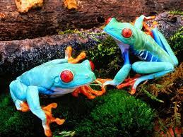 beautiful tree nymphs dazzling eyed tree frogs 16 pics