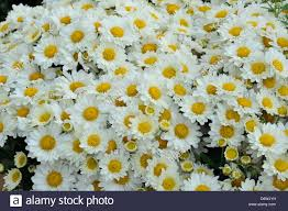 Botanical Garden In Bronx by Chrysanthemum Flowers In A Garden New York Botanical Garden