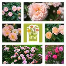 drift roses drift roses the garden diary