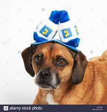 chanukah hat puggle in hanukkah hat stock photo royalty free image 52585058 alamy