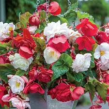 Fragrant Tropical Plants - fragrant cascading begonia blend light requirements full shade