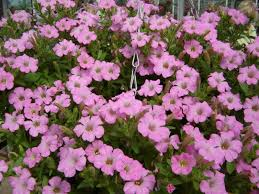 Fragrant Bedding Plants - b and q summer bedding plants margarite gardens