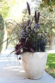 millet seeds purple majesty pennisetum glaucum aas gold