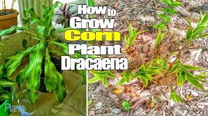 look how to grow a corn plant dracaena fragrans massangeana