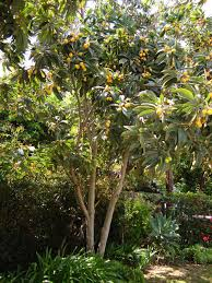 backyard garden with fruit loquat tree outdoor loquat trees in