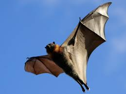 how to get rid of bats bat facts u0026 removal pestworld