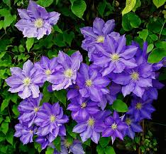 blue flowers clematis blue flowers free photo on pixabay