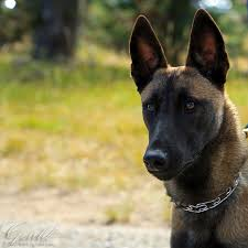 belgian shepherd how much belgian malinois by thiswomanwanders on deviantart