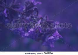 Catnip Flower - nepeta cataria