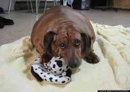 Wiener Dog Meme - obie the obese dachshund one adorable doxie s mission to lose 40