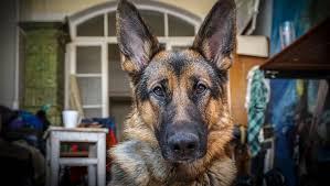 affenpinscher vs german shepherd smartest dog breeds in the world ranked dogtime